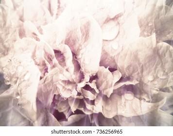 Vintage beautiful  defocused  photo   rose flowers in garden.Retro romantic background.