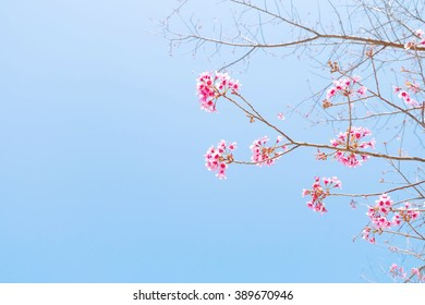 vintage beautiful Sakura cherry Blossom with blue sky
