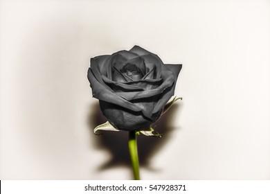 Vintage Black Rose. Black rose edited in a vintage style.