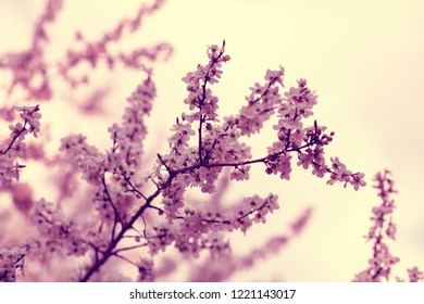 Vintage blossoming orchard. Branches with cherry flowers against sky