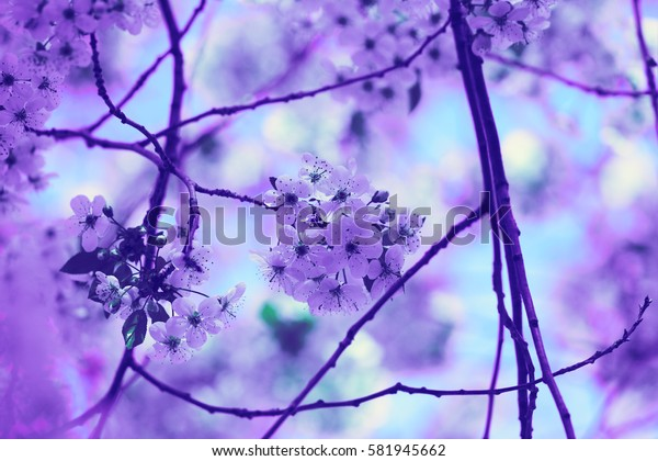Vintage blossoming orchard. Branches with cherry flowers