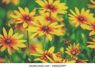 Vintage blossoming Rudbeckia hirta (Black-eyed Susan) flowers in the garden in summer. Nature background.