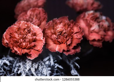 Vintage brown carnations on black background. Brown Molly carnations.