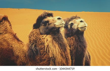 Vintage. Camels with sand dunes in the background. Desert. Close-up. Travel to remote places.