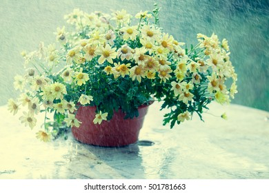 Vintage chrysanthemum flowers in the pot at rain outdoor