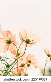 Vintage cosmos flower on background