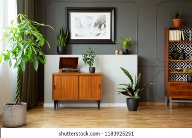 Vintage cupboard with gramophone in real photo of dark living room interior with molding and poster on wall, fresh plants and decor