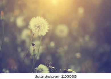 Vintage dandelion