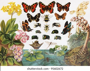 Vintage drawing representing various species of insects and butterflies - Picture from Meyers Lexicon books collection (written in German language ) published in 1906 , Germany.