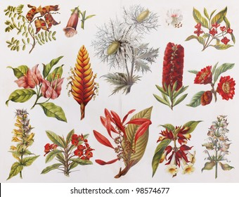 Vintage drawing of Show Flowers from the end of 19th century - Picture from Meyers Lexicon books collection (written in German language) published in 1906, Germany.