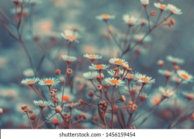 Vintage Erigeron flowers. Beautiful nature flowers background. Spring nature background