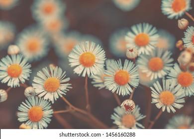Vintage Erigeron flowers. Beautiful nature flowers background. Spring nature background, top view