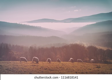 vintage flock of sheep