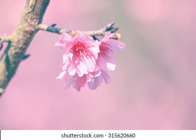 Vintage flower background of cherry blossom