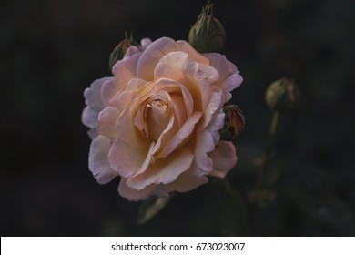 Vintage Flowers Of Pink Rose with dark background. Image for post card, flower shop, wallpapers. Vintage unsaturated filter.