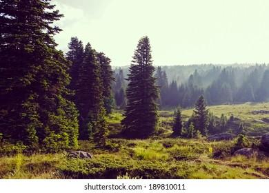 Vintage foggy coniferous forest background  Pine trees at Mount Uludag, Bursa (Turkey)