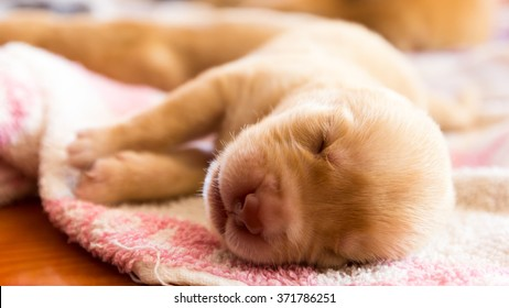 Vintage Image of Labrador Retriever Puppy with Sleeping