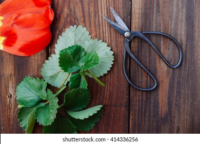 Vintage japanese pruning shear on the wooden table with red tulip petals