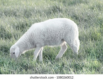 Vintage Katahdin Ewe Lamb Grazing on Grass