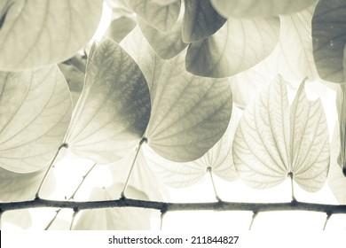 Vintage leaves of Snow orchid tree