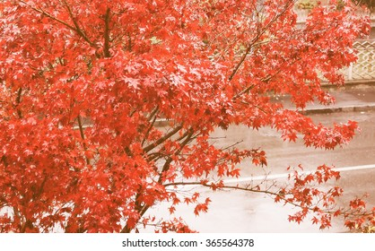 Vintage looking Detail of Canadian red acer maple tree leaves in autumn