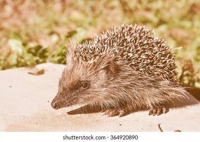 Vintage looking Hedgehog (Erinaceomorpha Erinaceinae Erinaceidae) spiny mammal animal