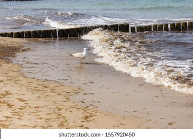 vintage looking shot of a seagull on the beach watching the breaking waves of the ocean/ breakwaters made out of wooden stakes and a seagull at the Baltic Sea in Germany/ seagull at the ocean