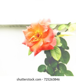 vintage of orange rose and green leaves near white wall