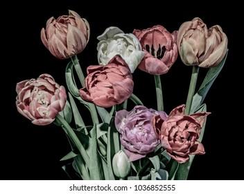 vintage pastel painting tulip blossom bouquet macro,black background