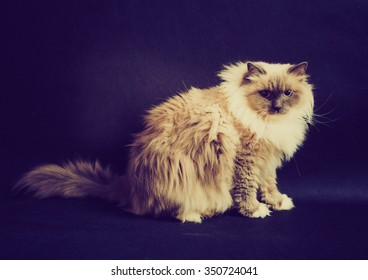 Vintage photo of beautiful Neva Masquerade cat portrait. Adult purebred siberian cat photographed on black background.
