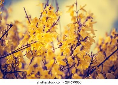 Vintage photo of closeup of forsythias flowers in full bloom. Springtime flowers