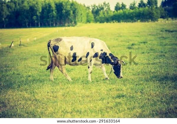 Vintage photo of cow on pasture. Animal portrait of polish cows.