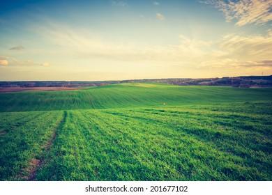 vintage photo of green rye field