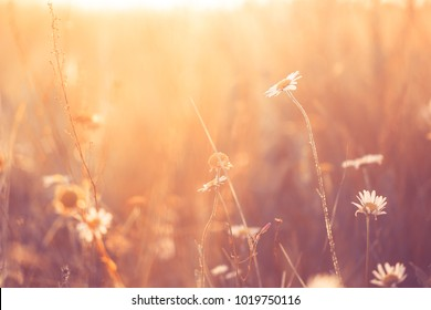Vintage photo of meadow chamomile in field. Sunny summer