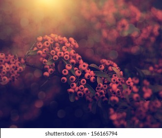 Vintage photo of red berries in sunset