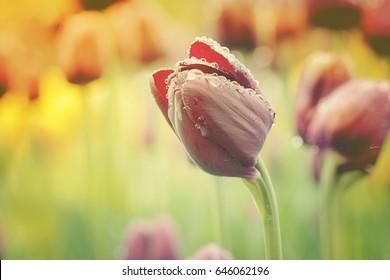 Vintage Photo of Tulips, Ottawa, Canada