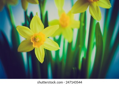 vintage photo of yellow daffodils on white background