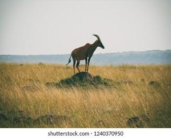 Vintage photography style of Topi antelope, wild life in Maasai Mara National park, Kenya, selected focus.
