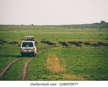 Vintage photography style of tourist's car and herd of wildebeest, wild life in Maasai Mara National park, Kenya, selected focus.