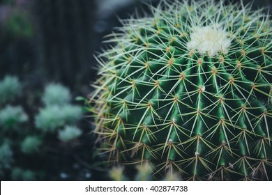 Vintage picture tone, macro soft light tone of pink cactus flower. Image has shallow depth of field.