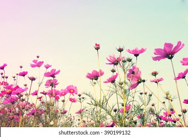 Vintage Pink Cosmos flowers with sky