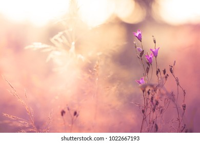 Vintage pink flowers in summer field. Nature view