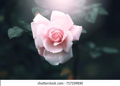 vintage rose flower on dark nature background