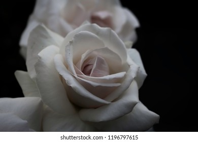 vintage roses with black blurred background