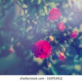 Vintage roses - vintage style