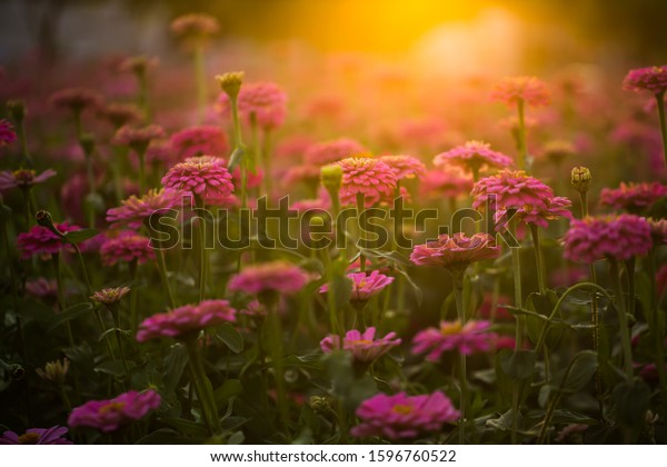Vintage Soft Tone Closeup Pink Zinnia Stock Photo Edit Now