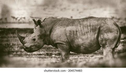 Vintage style black and white image of a White rhinoceros or (Ceratotherium simum) in Lake Nakuru National Park, Kenya. The white rhinoceros is one of the five species of rhinoceros that still exist.