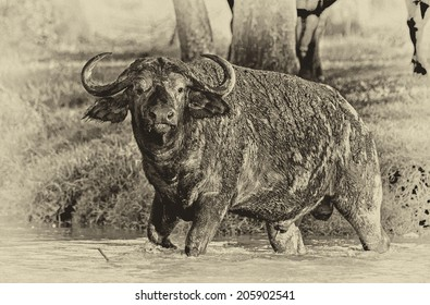 Vintage style black and white image of an African buffalo crossing a river in the Lake Nakuru National Park - Kenya