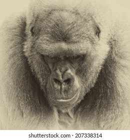 Vintage style black and white one of the most endangered animals, a great silverback Lowland Gorilla
