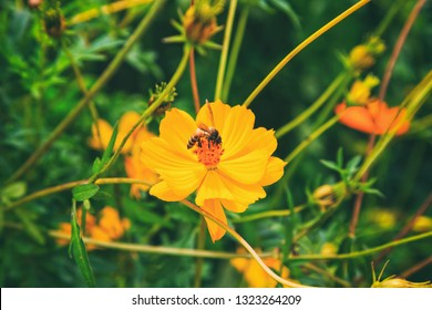Vintage style close up photography of bee insect on yellow flower of cosmos flower.